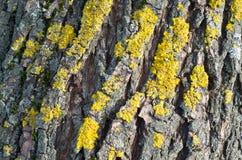 Corteza de la textura del árbol de pino Fotos de archivo