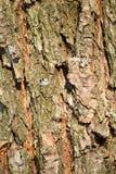 Corteza de la textura del pájaro del árbol de pino Imagen de archivo libre de regalías