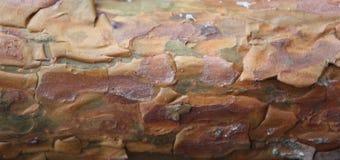 Corteza de la textura del pino Fotografía de archivo libre de regalías