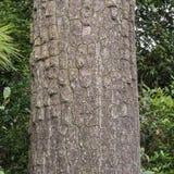 Corteza de la textura del pino, del árbol de corteza y del tronco de árbol Foto de archivo