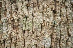 Corteza de la textura del pino, del árbol de corteza y del tronco de árbol Imagen de archivo libre de regalías