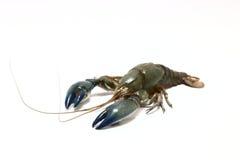 Corteza de los cangrejos en el fondo blanco Imagen de archivo libre de regalías