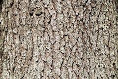 Corteza de madera del cedro Fotos de archivo libres de regalías