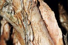 Corteza de Melaeuca o del árbol de corteza de papel Imagenes de archivo
