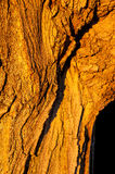 Corteza de oro Imagen de archivo libre de regalías