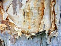 Corteza de papel, árbol de eucalipto Imagen de archivo libre de regalías