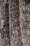 Corteza de ?rbol de Populus Nigra o de ?lamo negro o textura de Rhytidome imagen de archivo