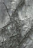 Corteza de un árbol, con un alambre de púas dentro Imágenes de archivo libres de regalías