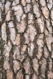 Corteza de un árbol de pino Fotografía de archivo libre de regalías