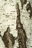 Corteza de un abedul Foto de archivo