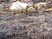 Corteza de un pino Foto de archivo libre de regalías