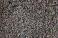 Corteza de un pino viejo del tronco de árbol Fotos de archivo libres de regalías