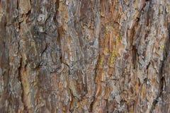 Corteza de un pino viejo del tronco de árbol Imagenes de archivo