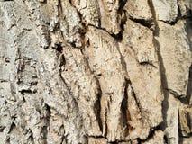 Corteza del álamo, textura desigual Foto de archivo libre de regalías