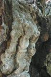 Corteza del árbol Imagen de archivo libre de regalías