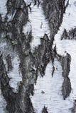 Corteza del árbol de abedul Imágenes de archivo libres de regalías