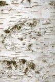 Corteza del árbol de abedul blanco Foto de archivo