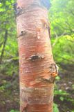 Corteza del árbol de Bhoj Patra y de x28; Betula Utilis& x29; , Himalaya, Uttarakhand, la India Imágenes de archivo libres de regalías