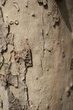 Corteza del árbol de Brown Foto de archivo libre de regalías