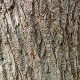 Corteza del árbol de hoja caduca viejo Fondo natural Textura Imagen de archivo libre de regalías