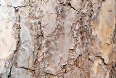 Corteza del árbol de pino Foto de archivo