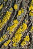 Corteza del árbol de pino Foto de archivo libre de regalías