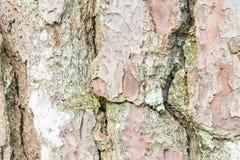 Corteza del árbol de pino, fondo de la textura Fotos de archivo libres de regalías