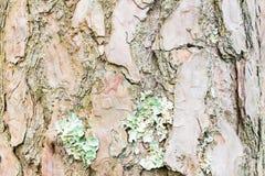 Corteza del árbol de pino, fondo de la textura Foto de archivo libre de regalías