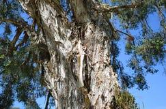 Corteza del árbol o del linariifolia en el bosque de Laguna, California de Paperbark del lino de Melaleuca Imagen de archivo