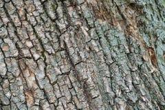 Corteza del árbol viejo Fotografía de archivo