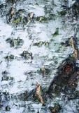 Corteza del abedul blanco Imagen de archivo