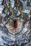 Corteza del abedul blanco Fotos de archivo