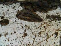 Corteza del abedul blanco de madera viejo Fotos de archivo