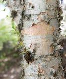 Corteza del abedul en la naturaleza salvaje como contexto Fotos de archivo libres de regalías