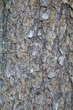 Corteza del bosque del pino Foto de archivo