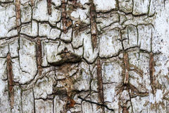 Corteza del cierre del árbol de abedul para arriba Fotos de archivo libres de regalías