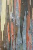 Corteza del eucalipto Fotografía de archivo