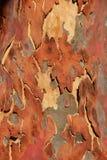 Corteza del eucalipto imagen de archivo