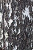 Corteza del fondo de la naturaleza de la textura del árbol de abedul Foto de archivo libre de regalías