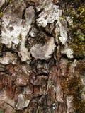 Corteza del manzano Foto de archivo libre de regalías