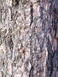 Corteza del pino Fotos de archivo libres de regalías