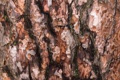 Corteza del pino Imagen de archivo