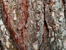 Corteza del pino Imagen de archivo libre de regalías