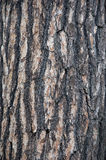 Corteza del pino blanco Foto de archivo libre de regalías