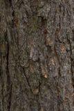 Corteza del pino de la textura El fondo de un árbol sano Foto de archivo