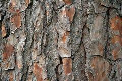 Corteza del pino del primer Fotos de archivo