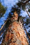 corteza del pino en la santificación soleada foto de archivo libre de regalías