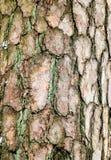 Corteza del primer viejo del árbol de pino Fotografía de archivo