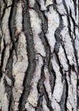 Corteza del árbol de cedro en el bosque Imágenes de archivo libres de regalías