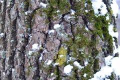 Corteza del roble con el MUSGO en nieve Fotos de archivo libres de regalías